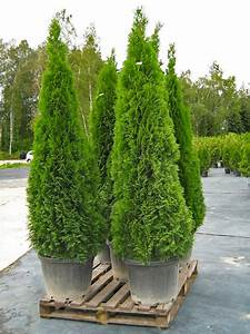 Thuja Smaragd 100 Cm : thuja occidentalis smaragd co5 80 100 cm thuja planet as ~ Orissabook.com Haus und Dekorationen