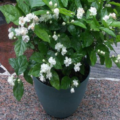 menanam tanaman hias bunga melati   pot