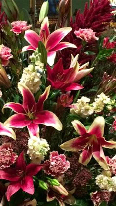 African Lady Sonata Lily (ot Hybrid) Http