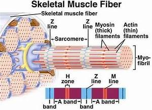 Muscle-skeletal Muscle-gross And Ultra Structure
