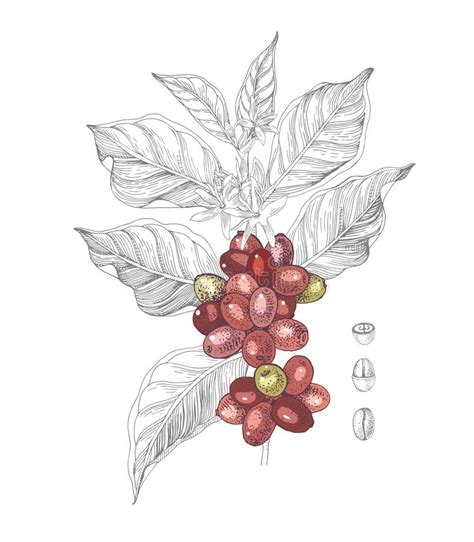 Coffee seeds are generally planted in large beds in shaded nurseries. Hand Drawn Illustration Of Coffee Branch With Seeds, Fruits And Flowers. Stock Vector ...