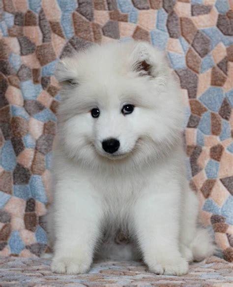 Adorable Sammy Puppy Samoyed Smiles Pinterest Puppys