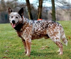 heeler dingo breeds picture