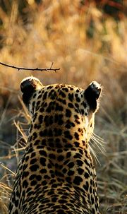 Animals Wallpapers Tiger iPhone Wallpaper for iPhone 6 ...