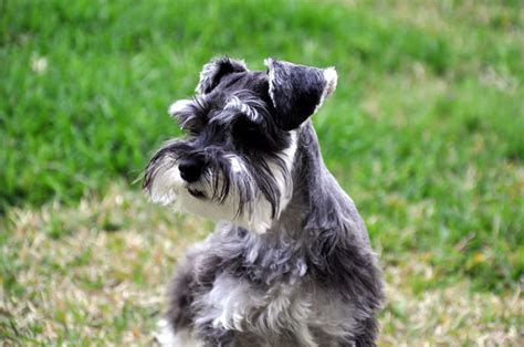22 hypoallergenic dog breeds dog reference