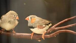 Birds Master Complex Songs By Learning When To Ignore Dad