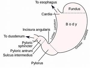Curvatures Of The Stomach