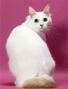 japanese cats suitable food for japanese bobtail cats many