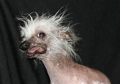 Ugly Dog Ugliest Animals Hairless Wallpapers Funny