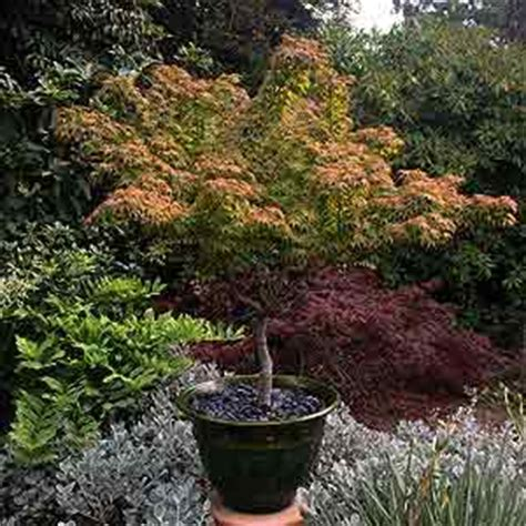 small trees for small spaces small trees for gardens and courtyards nurseries online