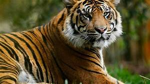 Sumatran Tiger Killed In Zoo By Proposed Mate During First