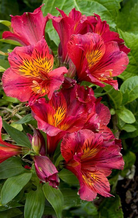 alstroemeria princess oxana sloat garden center