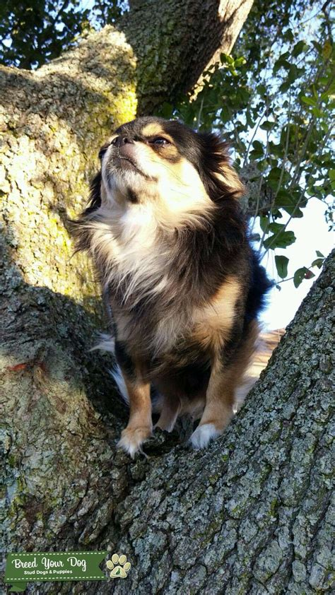 stud dog black tri colored long haired chihuahua stud