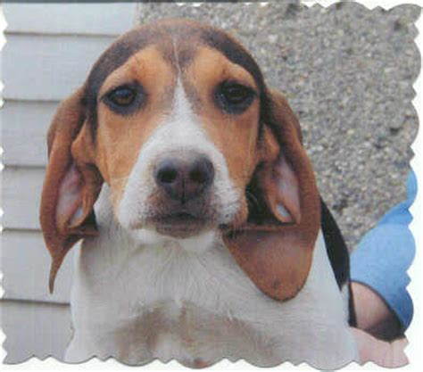 black and tan catahoula cross puppies 71378 miles dog