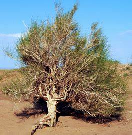 Plants - The Gobi Desert
