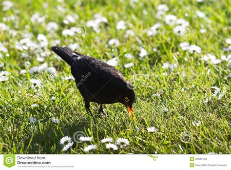 male blackbird feeding on grass royalty free stock images