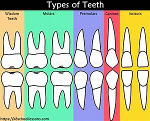 Human Tooth Structure For Kids