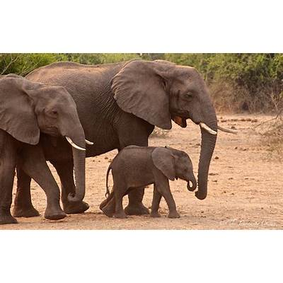 The African Elephant - Travelling Chilli
