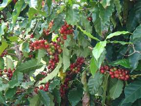 Coffee bean plant   Flickr - Photo Sharing!