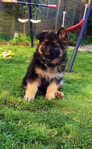 Fluffy Baby German Shepherd