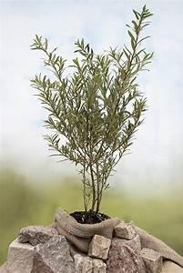 Sanddorn Pflanzen Kaufen : sanddorn m nnlich pollmix sanddorn pflanzen kaufen und pflanzen ~ Watch28wear.com Haus und Dekorationen