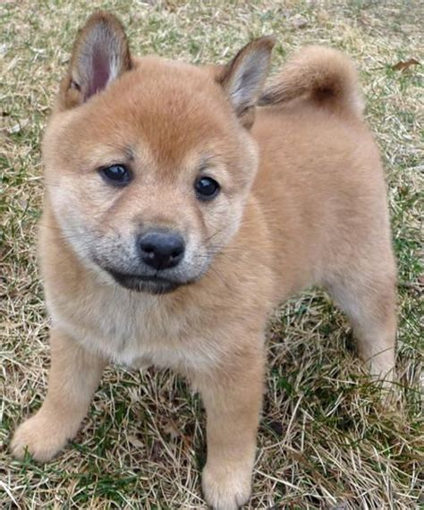 Do Shiba Inus Shed Hair by 25 Best Ideas About Types Of Small Dogs On