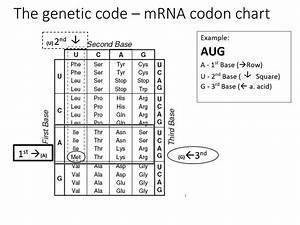 Amino Acid Codon Chart Circle