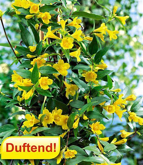 Winterharte Kletterpflanzen Für Kübel by Gelber Duftjasmin Kletterpflanzen Bei Baldur Garten