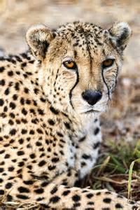 Cheetah Kitten Cat