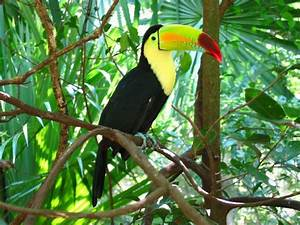Toucan-Keel-Billed