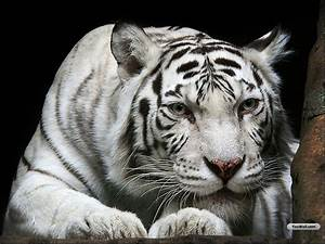 TIGER WALLPAPERS: White Tiger Desktop Wallpapers