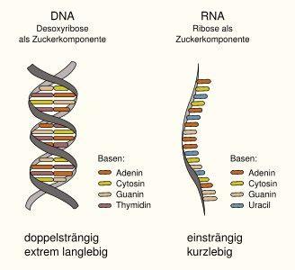 Boten Rna das genom als rna maschine wissensschau de