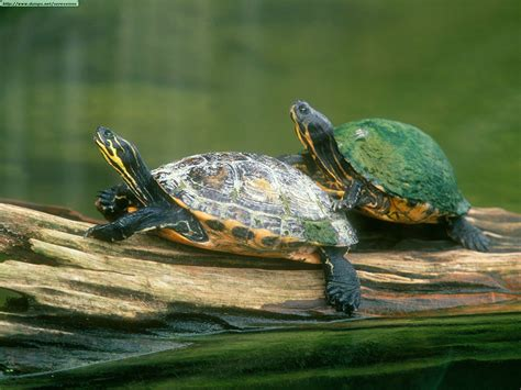Images Of Turtles Turtles Images Turtles Hd Wallpaper And Background Photos