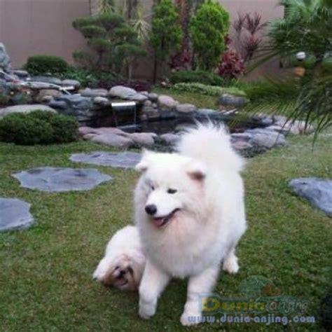 dunia anjing pejantan anjing samoyed stud service von