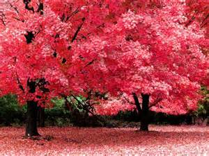 pink trees pink color photo 23859643 fanpop