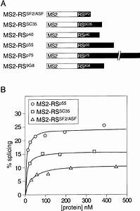 Characterization Of The Ms2 U2013rs Hybrid Proteins    A