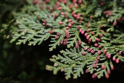 koniferen pflanzen wachstum anlegen saeen ernten