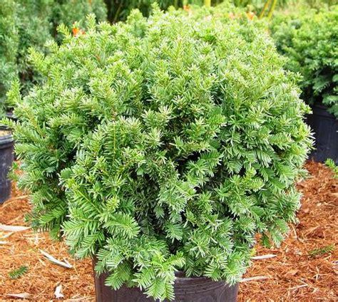 name of shrub bear creek nursery shrub plant common names plant images s z