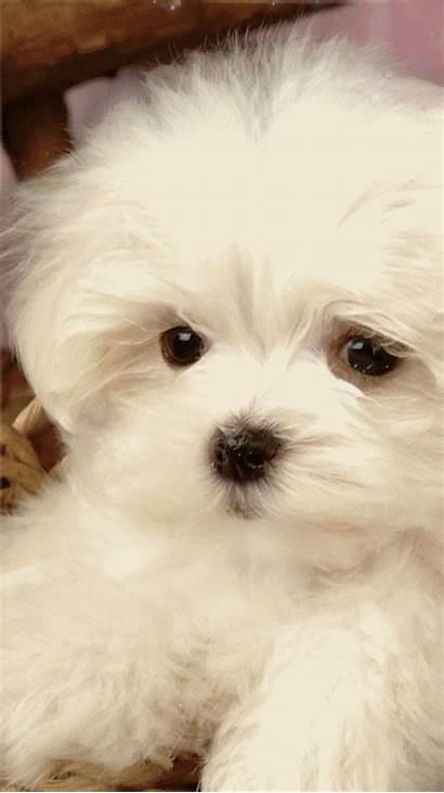 Maltese Teacup Puppy Puppies Tzu Shih Pomeranian
