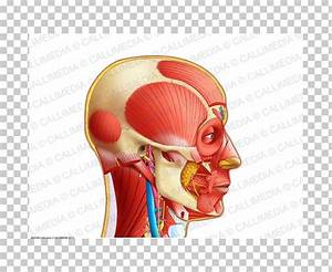 Anatomy And Physiology Of Ear