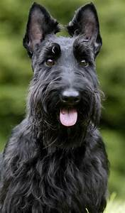 Scottish Terrier Haircut Photos | Search Results ...