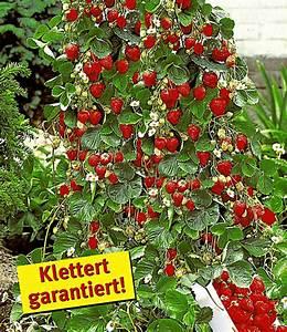 Erdbeeren Richtig Pflanzen : kletter erdbeere 39 hummi 39 und dekor erdbeeren bei baldur ~ Lizthompson.info Haus und Dekorationen