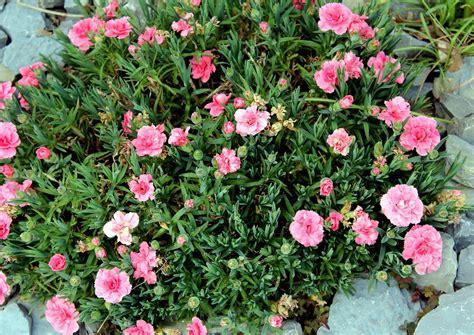 Gartennelke (dianthus Caryophyllus)