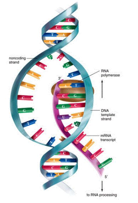 Protein synthesis animation wisc online » Best persuasive essay ...