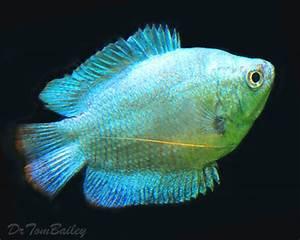 Dwarf Gourami for Sale AquariumFish