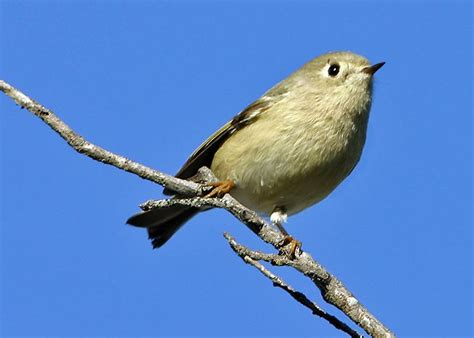 regulidae kinglets discover life