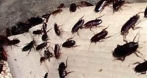 Tuer Les Cafards : d barrassez vous des cafards avec ces insecticides maison tr s efficaces family sant ~ Melissatoandfro.com Idées de Décoration