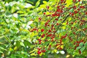 What Is A Nanking Cherry  Learn About Growing Bush Cherries