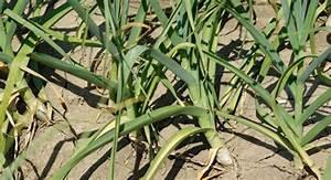 Culture De L Ail : le plant certifi d 39 ail fran ais pour une culture rentable et une production de qualit ~ Melissatoandfro.com Idées de Décoration