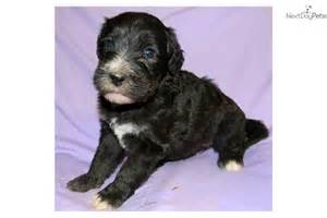 cute non shedding dogs dog breeds picture